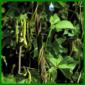 Stangenbohnen, leckeres Gemüse aus dem eigenen Garten