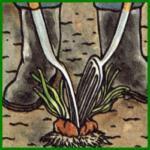 Stauden teilen und Zwiebelpflanzen teilen