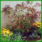 Verpflanzen oder umsetzen von Sträuchern