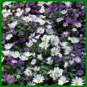 Strahlenanemonen bilden margeritenähnliche Blüten