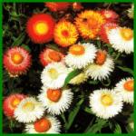 Strohblumen, die klassischen Trockenblumen