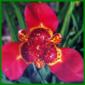 Tigerblume oder Pfauenblume, die Blüten halten einen Tag