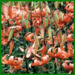 Tigerlilie, eine pflegeleichte Zwiebelblume