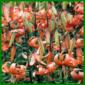 Tigerlilie, eine pflegeleichte Zwiebelblume, sie benötigt reichlich Nährstoffe