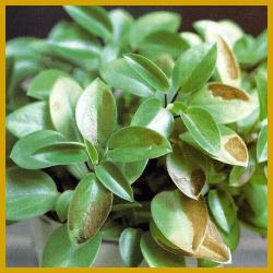 Trockenschäden bei Zimmerpflanzen