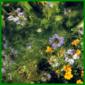 Jungfer im Grünen, (Nigella damascena)