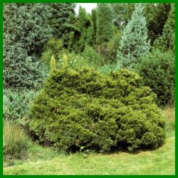 Wacholder gehört zu den Zypressengewächsen