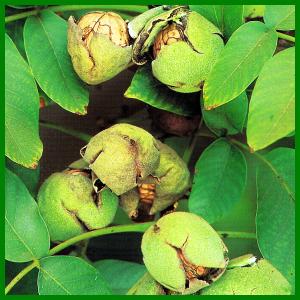 Walnuss, eine schmackhafte Herbstfrucht