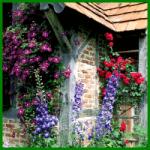Kletterpflanzen begrünen Mauern, Spaliere oder Pergolen