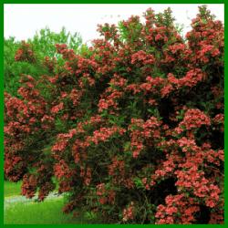 Weigelien sind Blütensträucher mit üppiger Blütenpracht