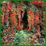 Wilder-Wein ist eine schnell wachsende Kletterpflanze