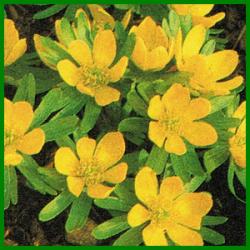 Winterharte Zwiebelblumen blühen mitten im Winter
