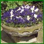 Winterliche Blühpflanzen im Topf oder Kübel
