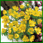 Winterlinge, leuchtende goldgelbe Blüten