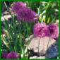 Zierlauch, eine schöne Blume mit kugeligen Sternenblüten