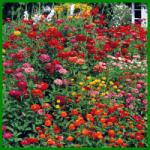 Zinnien, langlebige Blüten in großer Vielfalt