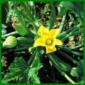 Zucchini, ein ertragreiches Fruchtgemüse