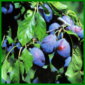 Zwetschgen, die saftigen Früchte im Spätsommer