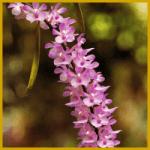 Aerides ist eine Orchidee die in den Bäumen wächst