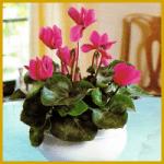 Das Alpenveilchen, eine der hübschesten Zimmerpflanzen