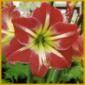 Amaryllis, oder auch Ritterstern genannt, kann mehrmals blühen