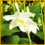 Amazonaslilie, wunderschöne weiße Blüten