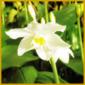 Amazonaslilie, kann mehrmals im Jahr blühen, Hauptblütezeit Winter
