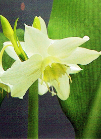 Amazonaslilie