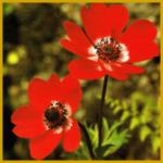Anemone, eine winterharte Gartenblume
