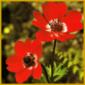 Die Anemone ist eine winterharte Gartenblume mit gefiederten Blättern