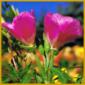 Atlasblume, eine echte Sommerblume, Ende Juni bis Ende August