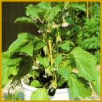 Aubergine, ein wohlschmeckendes, exotisches Gemüse