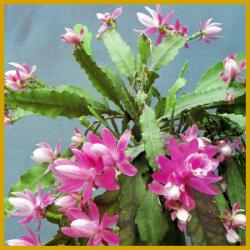 Aztekenkaktus, blüht am stärksten unter den Blattkakteen