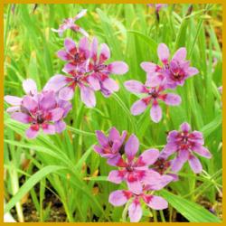 Babiane, eine sehr schöne und seltene Knollenpflanze