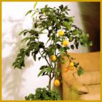 Zimmerpflanzen als Bäumchen erziehen