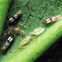 Bakterienkrankheiten