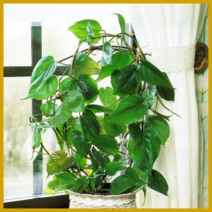 Der kletternde Baumfreund ist eine schöne einfache Pflanze