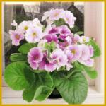 Becherprimel, eine schöne Zimmerpflanze