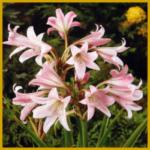 Belladonnalilie, sehr schöne, trichterförmige Blüten