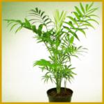 Bergpalme, gehört zu den kleinsten Palmen