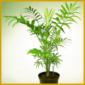 Die Bergpalme, gehört mit zu den kleinsten Palmen