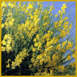 Binsenginster ist ein Busch mit hübschen gelben Erbsenblüten