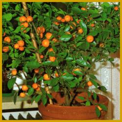 Bitterorange, eine weißblühende Kübelpflanze