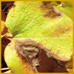 Blattflecken haben eine Vielzahl von Ursachen und Symptome
