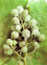 Hier hat ein Pilz auf den Blättern und Trauben des Weins allerlei Flecken hervorgerufen