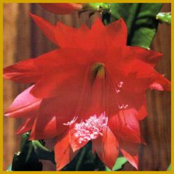 Blattkaktus, sehr dekorative, bis zu 20 cm große Blüten