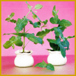 Blaugummibaum, Fieberbaum oder Eucalyptus