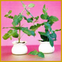 Blaugummibaum oder auch Eucalyptus