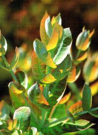 Blaugummibaum
