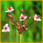 Blumenbinse, eine mehrjährige Sumpfpflanze mit kräftigen Rhizomen